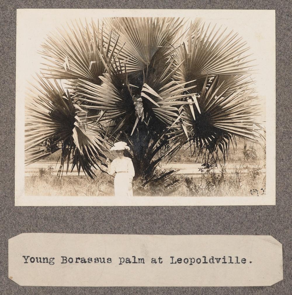 Young Borassus